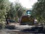 La falta de mano de obra deja sin recoger parte de la cosecha de aceituna en la sierra cordobesa
