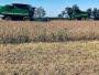 La buena para la soja: la cosecha sigue engordando