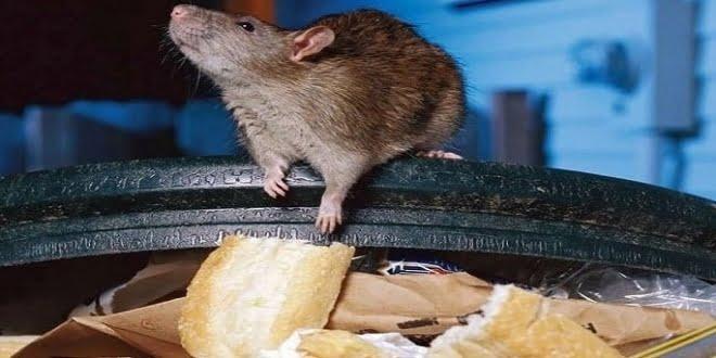 Advierten por la aparición masiva de roedores
