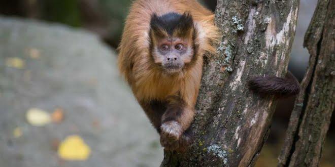 Lanzan campaña solidaria para la Reserva de Monos Carayá de La Cumbre