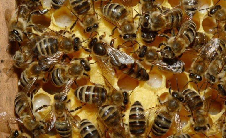 Murió tras ser atacado por un enjambre de abejas en el norte cordobés